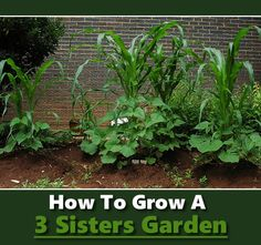 How To Grow A 3 Sisters Garden - centuries old traditional native american gardening method... #gardening #homesteading