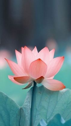 Android Wallpaper Flowers, Free Android Wallpaper, Lotus Flower Wallpaper, Phone Wallpapers, Amazing Flowers, Pretty Flowers, Lotus Flower Pictures, Lotus Flower Mandala, Flower Aesthetic