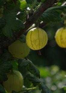 Fruit plukken. Bramen, frambozen, kruisbessen
