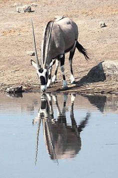 Gemsbok reflection in Namibia. BelAfrique - Your Personal Travel Planner - www.belafrique.co.za