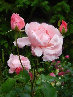 Rose Queen Elizabeth. (Queen of England)