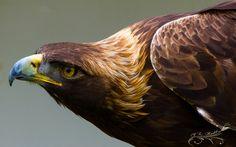 Golden Eagle 11-05-2013 by Lenore49.deviantart.com on @DeviantArt
