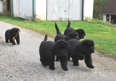 Newfoundland dog puppies ... check out my newfoundland dog training tips here http://tipsfordogs.info/90dogtrainingtips/