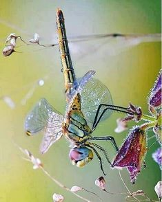 I know I'm a gorgeous specimen. So please continue to adore me. Dragonfly Photos, Dragonfly Art, Dragonfly Tattoo, Beautiful Bugs, Beautiful Butterflies, Dragon Fly Craft, Insect Photography, Dragonfly Photography, Gossamer Wings