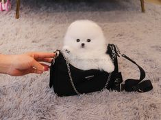 Pomeranian For Sale, White Pomeranian, Teacup Puppies For Sale, Teacup Pomeranian, Tea Cups, Pocket, Pets, Beauty, Small Puppies For Sale