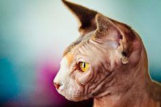Peach fuzz. #hairless #sphynx #cat