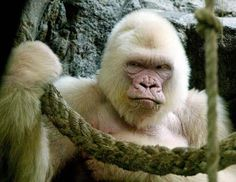 This photo of Snowflake the albino gorilla was taken Sept. shortly before he died. Snowflake was the only albino gorilla at Spain's Barcelona Zoo. Gorila Albino, Angry Animals, Zoo Animals, Cute Animals, Wild Animals, Funny Animals With Captions, Funny Animal Pictures, Humorous Animals, Funny Images