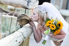 bride kissing a giraffe - the cutest | Cheyenne Mountain Zoo wedding | photo by Trystan Photography