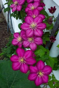 Clematis Pink Champagne                                                                                                                                                     More