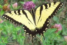 Male Tiger Swallowtail, I don't know about a lot of things, but I'm beginning to know a lot about butterflies!