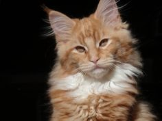We adore cats with long hair. Learn about some of our favorite breeds, including the Persian, Maine Coon and Norwegian Forest Cat. Gato Maine, Gatos Maine Coon, Maine Coon Cats, Kittens Cutest, Cats And Kittens, Long Hair Cat Breeds, Norwegian Forest Cat, Red Cat, White Cats