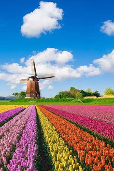 Tulip fields (Netherlands)