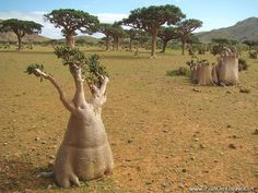 Bottle Trees on Socotra Island