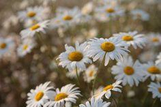 daisies  such a fresh, clean, fun little flower