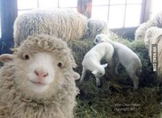 Funny Animal Pictures Of The Day - 22 Pics. Sheep are really crazy creatures! Farm Animals, Animals And Pets, Funny Animals, Cute Animals, Crazy Animals, Animals Planet, Nature Animals, Beautiful Creatures, Animals Beautiful