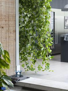 Devils ivy hanging pot plant