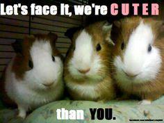 Guinea piggles are super adorable!