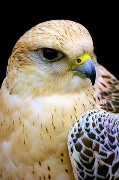 One of the shape shifters. Big Bird, Small Birds, Colorful Birds, Pretty Birds, Beautiful Birds, Merlin Bird, Hawk Bird, N Animals, Owl Pictures