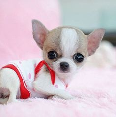 Types of Chihuahua Breeds | ... . They are very cute which makes them