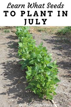Learn what seeds to plant in July.  It's not too late to get some seeds planted in your garden this summer.  Follow this list of seeds you can plant in July.  #summergarden #vegetablegardening