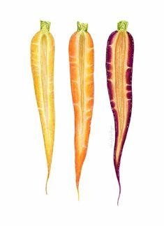 Rainbow Carrot Trio Illustration by Kendyll Hillegas Herbs Illustration, Vegetable Illustration, Food Illustrations, Botanical Illustration, Pencil Illustration, Vegetable Curry, Home Vegetable Garden, Vegetable Pizza, Carrot Drawing