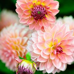 'Jitterbug' - 50 Gorgeous Dahlias  - Sunset ... salmon petals with yellow highlights.