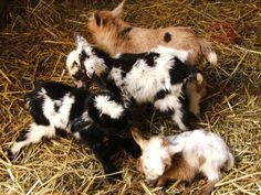 Nigerian mini milk goats I love goats! Mini Goats, Baby Goats, Dwarf Baby, Farm Animals, Cute Animals, Goat Care, Nigerian Dwarf Goats, Raising Goats, Mini Milk