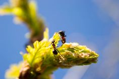 Working ant's  Nature  Tree  Brench  Ant  Insect  Macro  Closeup  Outdoor  Spring  Leaf  Photographer  Photography