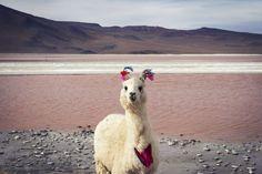 Stylish llama - 2014-05-19_256291_spontaneous-moments.jpg