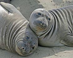 Elephant Seals at Piedras Blancas near San Simeon, California
