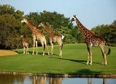 Legends Golf Course - how amazing!