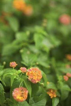 How to Grow Lantana From Saved Seeds