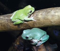 Australian Green Tree Frog or White's Tree Frog (Litoria caerulea) - native to northern and eastern regions of Australia and to the lowlands of New Guinea Cute Reptiles, Reptiles And Amphibians, Tree Frog Terrarium, Frosch Illustration, Dumpy Tree Frog, Frog Habitat, Baby Animals, Cute Animals, Wild Animals