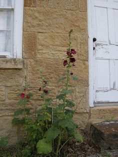 Hollyhocks by door - Cornish Miners Cottage