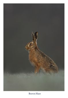 Brown hare by Danny Green