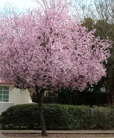Beautiful and practical spring-flowering trees - Purple Leaf Plum.  Blooming early, it's a dependable, easy, versatile landscape plant making a solid display throughout the growing season.  Needs full sun and well drained soil.