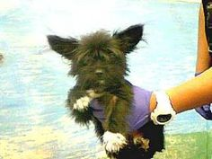 13-06744 is an adoptable Terrier Dog in Downey, CA. 13-06744 Terrier Black Impounded on 08/31/2012 from Downey Availability Date 09/07/2012 call to confirm...