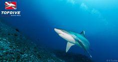 """""""Tapete"""" shark"""