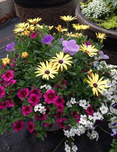 Beautiful Power Flowers container -  Yellow Osteospermum, sky blue Petunias, white Bacopa, neon pink calibrachoa Porch Plants, Outside Plants, Outdoor Planters, Outdoor Flowers, Garden Planters, Balcony Garden, Lawn And Garden, Full Sun Container Plants, Container Flowers