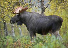 """Elg..""""Skogens konge"""", Norway"""