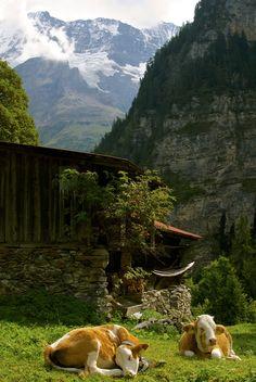 Sleepy Swiss cows relaxing in a hamlet below Gimmelwald near Murren & above the Lauterbrunnen Valley.