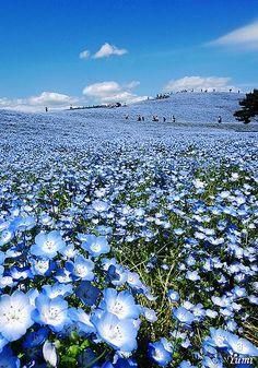 #Blue Hill (Nemophila) Hitachi Seaside Park, Hitachinaka, Ibaraki, Japan. #travel