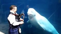 This Video of Belugas Jamming out to Bagpipes Is Almost Too Much