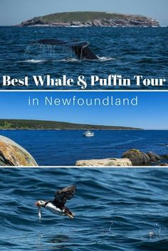 We chose Molly Bawn's Whale Puffin Tour in Newfoundland for their smaller tour size and genuine love for wildlife. And they did not disappoint! Star Mobile, Canada Travel, Canada Tours, Canada Trip, Newfoundland And Labrador, Newfoundland Canada, East Coast Road Trip, Whale Watching Tours, Atlantic Canada