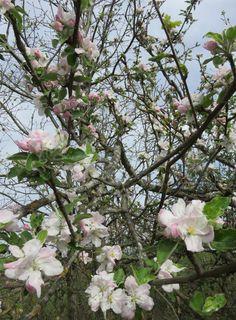 Cognassier : fleurs très suaves