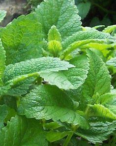 Lemon balm is a member of the mint family.