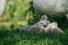 Baby Cygnets at the Mill this morning - so adorable!