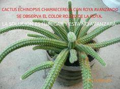 La página más grande de Cactus y Crasas en el mundo: CUIDADOS DE LOS CACTUS Cómo curar los cactus e identificar plagas fácilmente !!!!! Clickeá ! Cactus Flower, Cactus Plants, Cactus Y Suculentas, Flora, Succulents, Grande, Ideas Para, Modern, Gardens