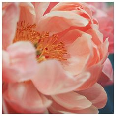 Nature Photograph - Peony Photograph - Flower Photograph - Spring - Peach - Paeonia 8 - Fine Art Photograph - Alicia Bock - Floral Art