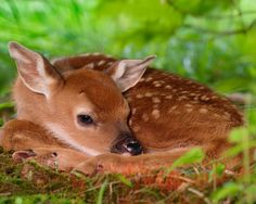 """A very unusual genetic color variation in white-tailed deer — rarer even than albinism — produces all-black offspring in that species which are known as """"melanistic"""" or """"melanic"""" deer. A """"black and white"""" Bambi. Rare Animals, Cute Baby Animals, Animals And Pets, Animal Babies, Cutest Animals, Newborn Animals, Spotted Animals, Animals Images, Funny Animals"""